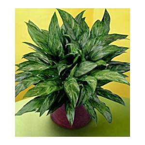 green chinese evergreen