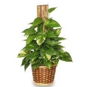green pothos plant totem gift