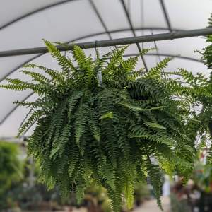bring some jungle vibes to your home, porch, or patio with this bright green boston fern hanging basket!