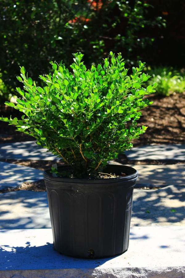 Dense and compact evergreen