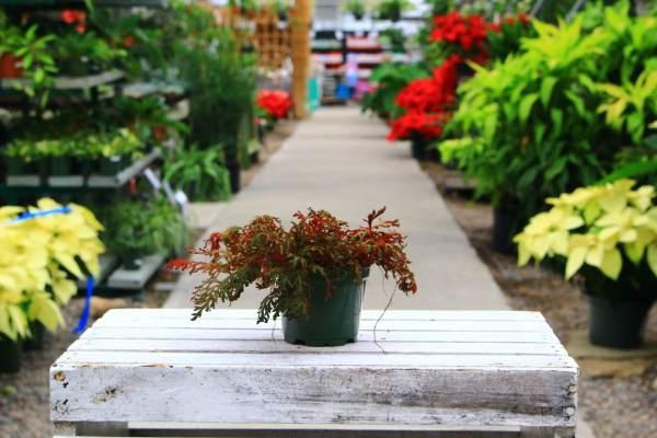 fern like foliage, red underside
