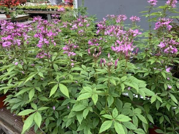 Lavender-pink flowers