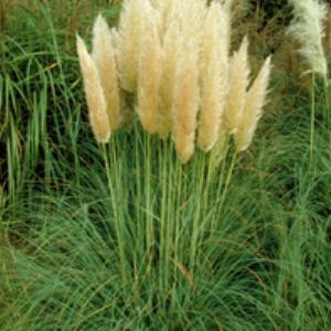 White pampas grass.