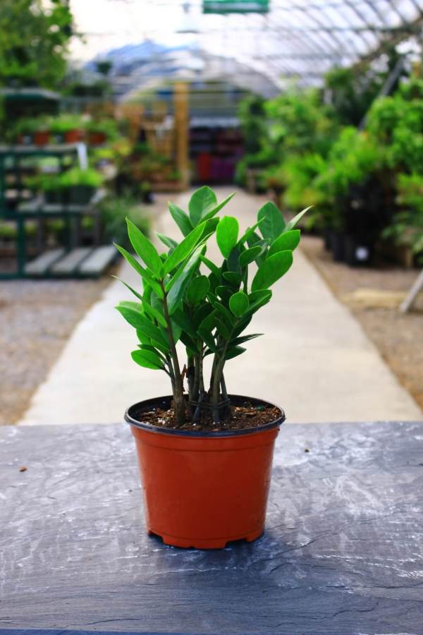 Upright plant with glossy oval leaves