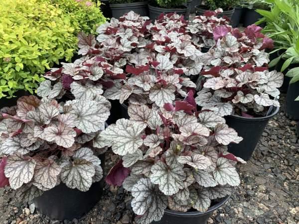 Silvery purple leaves