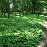 Excellent shade ground cover