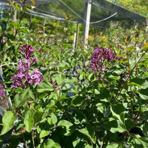 Reblooming fragrant blooms from mid-summer to frost