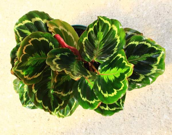 Calathea 'Medallion' is a type of prayer plant with striking patterns on the top sides of each leaf and dark burgundy undersides.