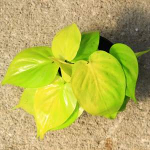 Philodendron 'lemon lime' has bright yellow heart shaped leaves that grow in long vines.