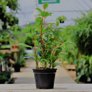 Also known as Aluminum plant has thin, textured leaves with shimmering silver spots
