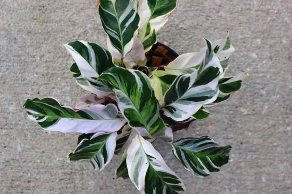 Calathea 'White Fusion' has striking white streaks across its dark green leaves.