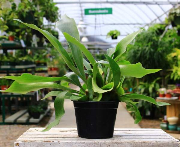 Staghorn ferns grow long strap-like foliage that is soft to the touch.