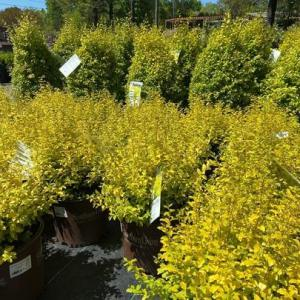Ligustrum Sunshine has bright yellow foliage and enjoys full sun