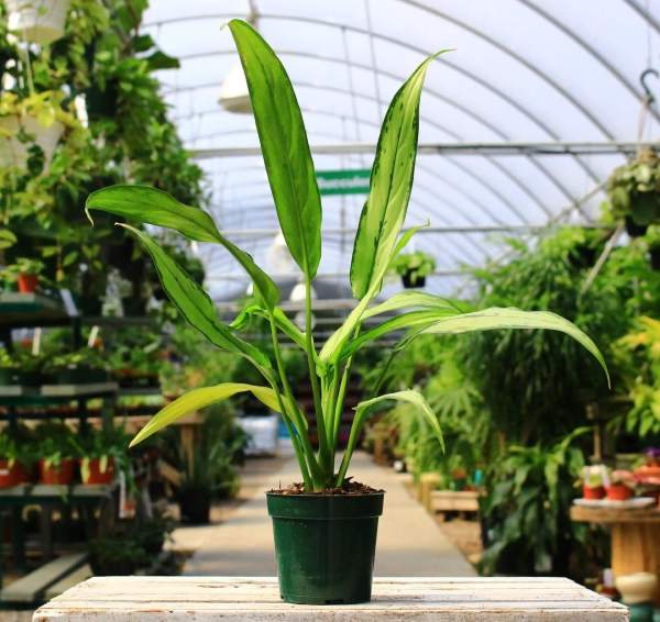 Plant with sleek, dark green leaves mottled with creamy yellow centers