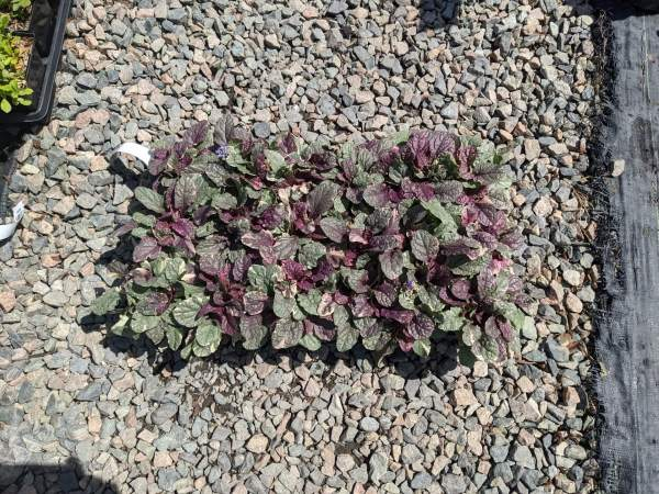 ajuga burgundy glow has warm purple tones and cream variegation on the leaves