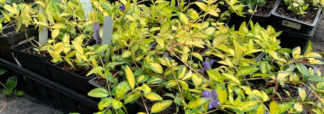 Ground cover, light and dark green leaves with purple flowers