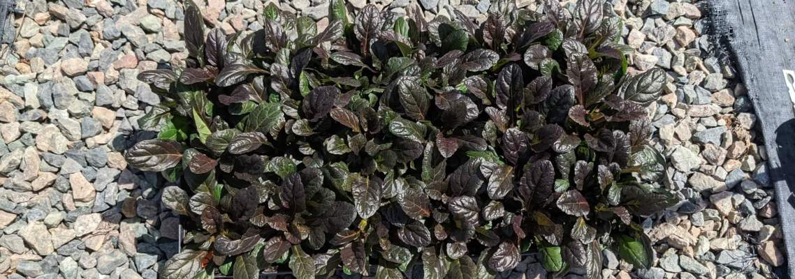 ajuga bronze beauty has wrinkled leaves in shades of deep green and purple