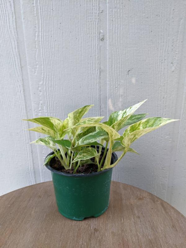 speckled variegated leaves