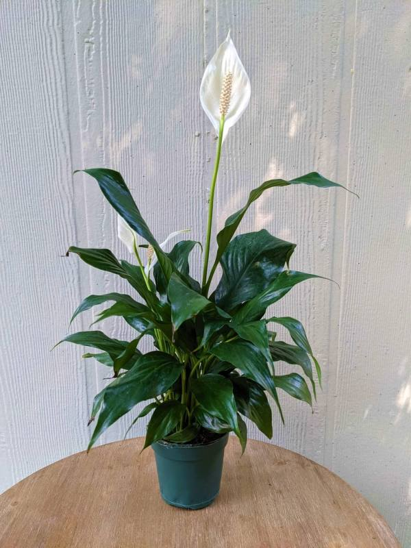 deep green glossy leaves with large white blooms