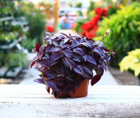 fast growing deep purple foliage