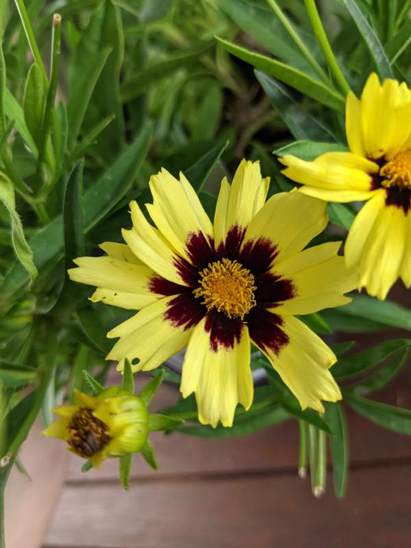 closeup of a coreopsis 'superstar' flower - bright yellow flowers with deep red centers