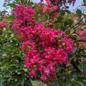 large hot pink blooms