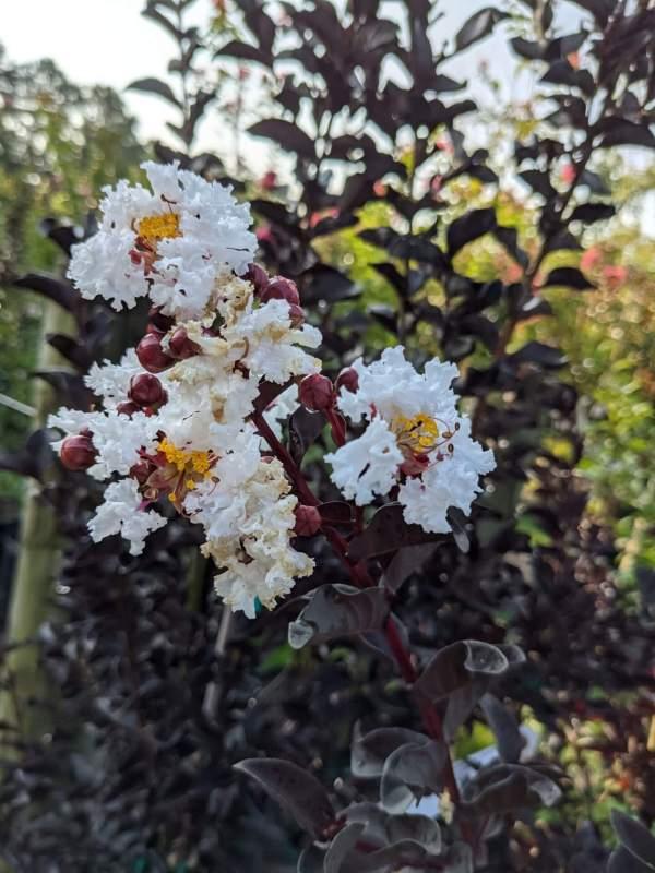 true white blooms with dark purple foliage