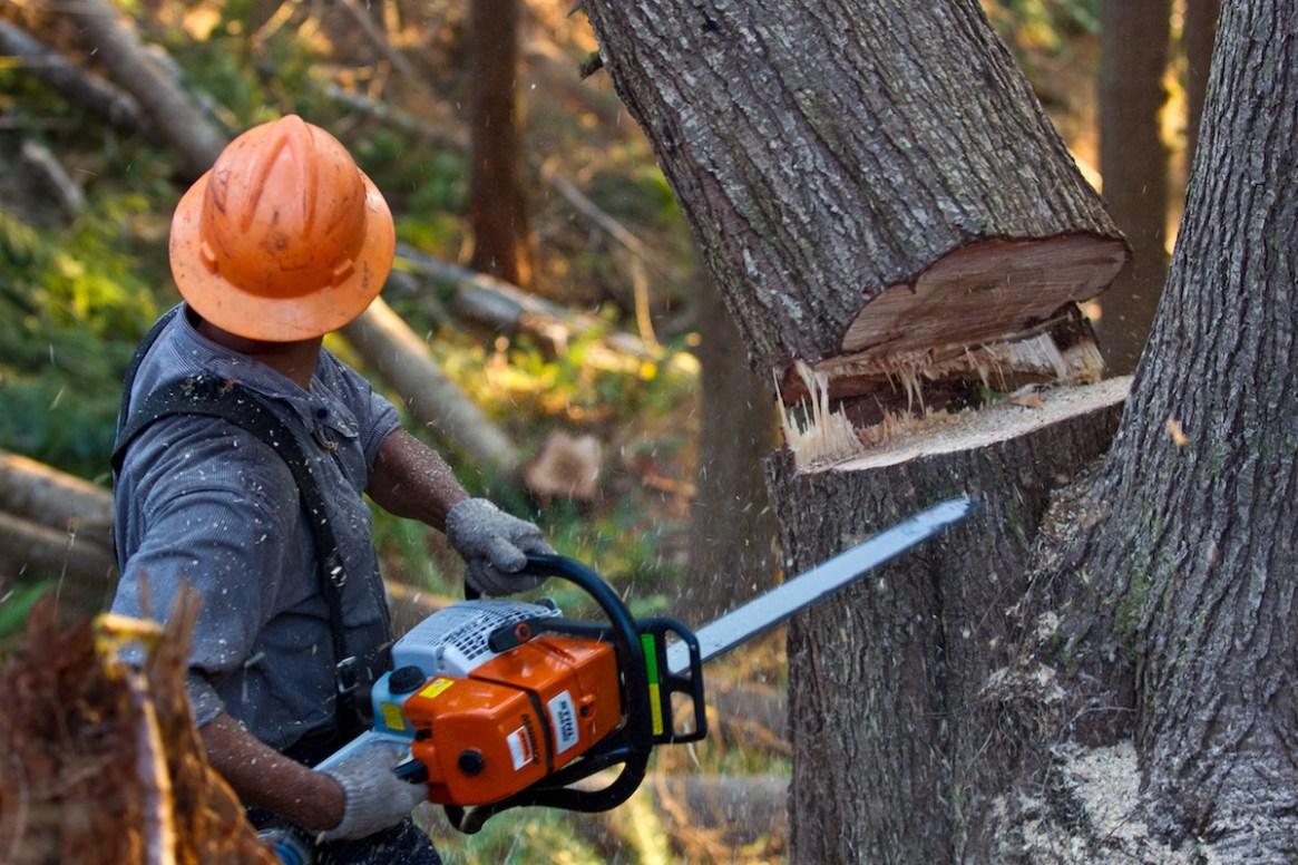 A timber cutter works