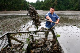 In this June 21, 2010 file photo, Efrain Rivera uses a pitchfork to harvest Pacific oysters at low tide at a Farm owned by Taylor Shellfish Co. in Oyster Bay, near Olympia.(Photo by Ted S. Warren/AP)