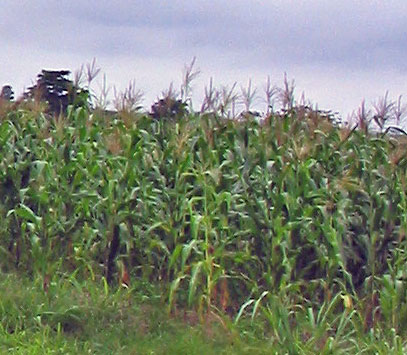 corn in Ghana