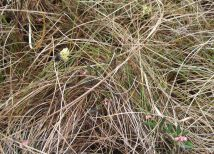 Hare's-tail cotton grass & bog rosemary
