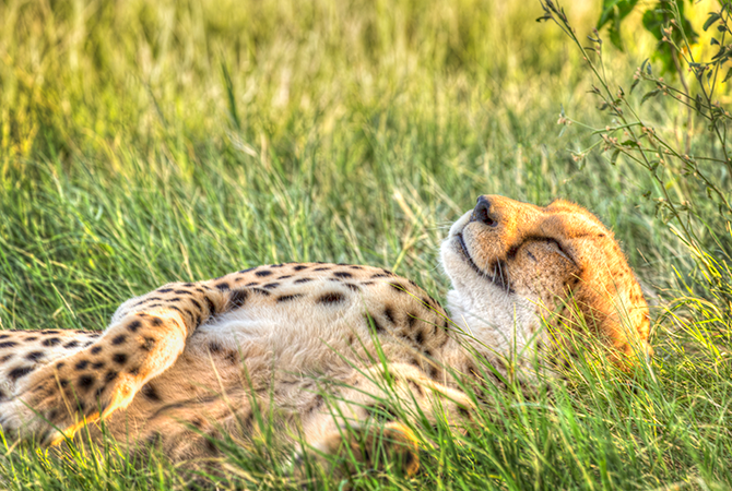 Cheetah basking in the last rays of the day.