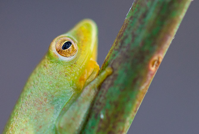 Reed-Frog-5