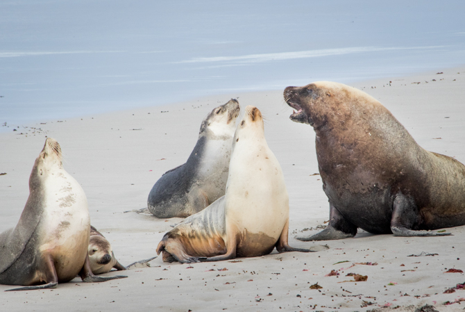Sea lion group
