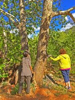 2 women touching a sycamore tree signifies nature connection is an important part of shamanic journey practice