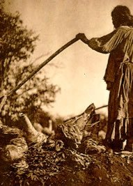 Indian man digging up agave root with long stick--historical image