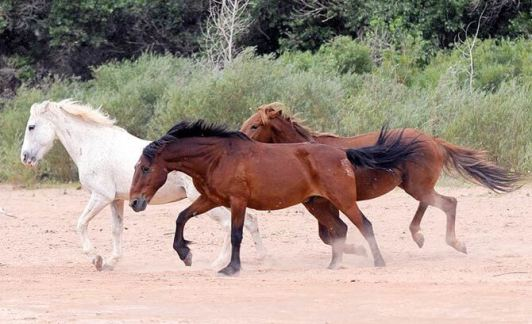 Navajo horses in Canyon de Chelly run loose in the canyon.