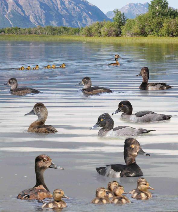 Ring-necked Duck Aythya collaris