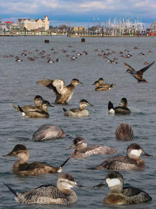 Ruddy Duck Oxyura jamaicensis