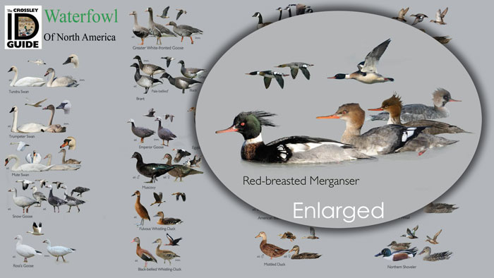 Crossley ID Guide: Waterfowl - Pocket Guide