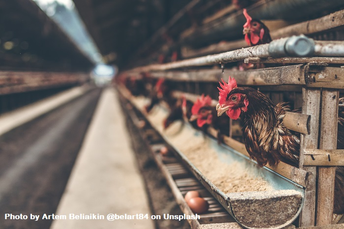 Is Your Pain Based On Innate Behavior Or Operant Behavior? Chickens are in rows of pens on nests and their eggs roll out onto a conveyor.