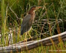 karen.....Green-Heron-July-17--250x200