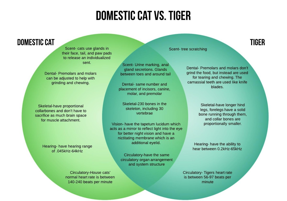Domestic Cat Vs Tiger Crown Ridge Tiger Sanctuary