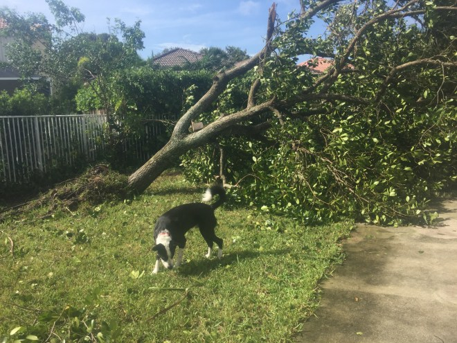 Dog after hurricane Irma