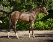 CCF Clear Sailing, 2015 gelding by Clintord I ex Nouska