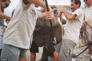 A bullhook being used on a baby elephant.