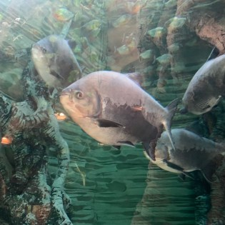 there are more than a thousand piranhas, which are fed daily at 4pm