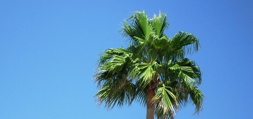 Palme auf Mallorca in Spanien