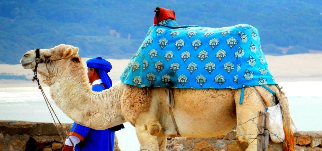 Kamel in Agadir auf dem Landausflug mit dem Mein Schiff 4