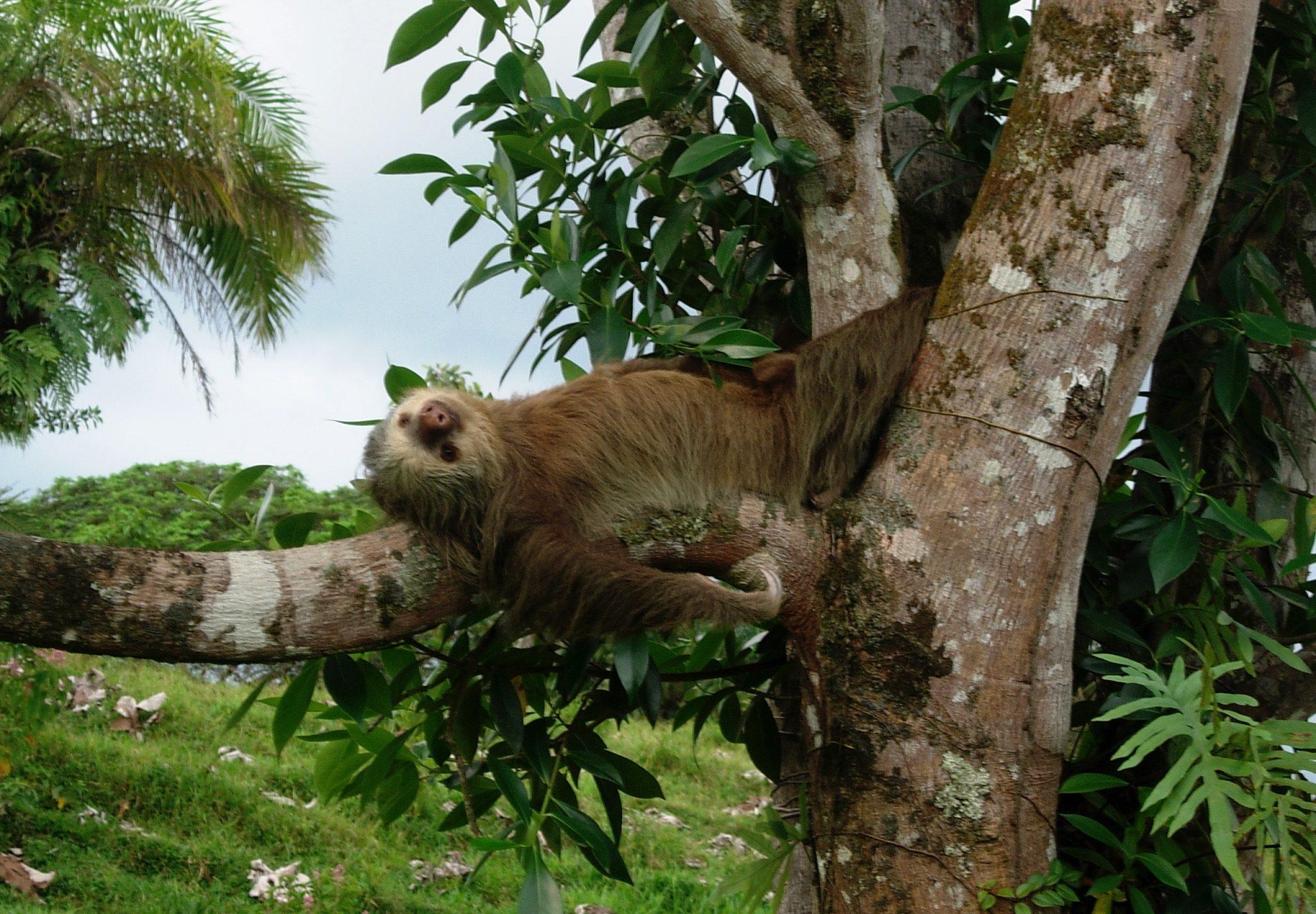 Costa Rica dyreliv - dovendyr